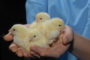 National Union Of Poultry Farmers Launched In Russia.